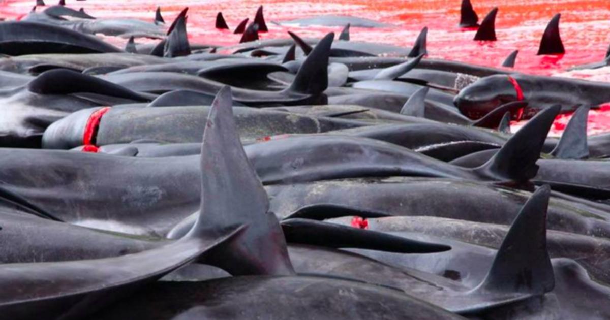 法羅群島被公審的獵鯨儀式:我們的「善良」其實很無知