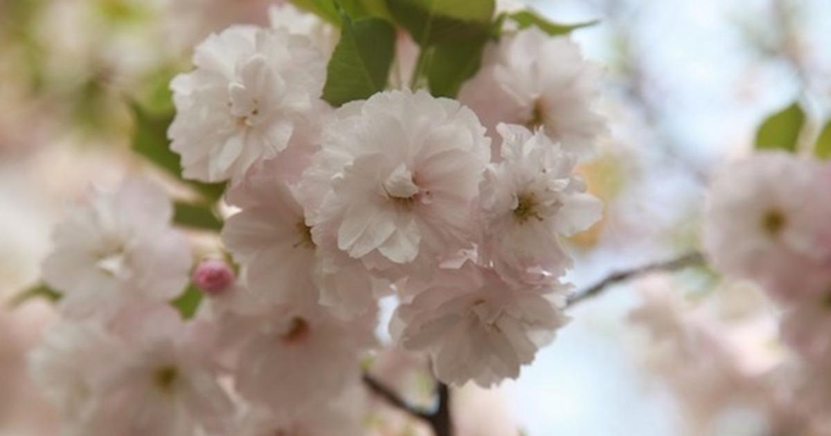 多樣的櫻花,找到女人的不同面貌